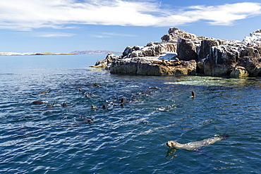 California sea lions (Zalophus californianus), near a reef in the San Jose Channel, Baja California Sur, Mexico, North America