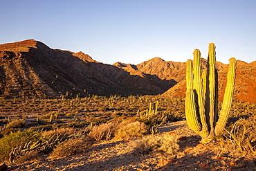 Mexican giant cardon cactus (Pachycereus pringlei), at sunrise on Isla San Esteban, Baja California, Mexico, North America
