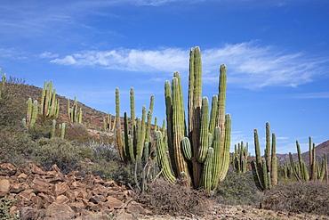 Mexican giant cardon cactus (Pachycereus pringlei), on Isla San Esteban, Baja California, Mexico, North America
