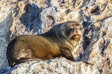 Guadalupe fur seal (Arctocephalus townsendi), hauled out on Isla Rasita, Baja California, Mexico, North America