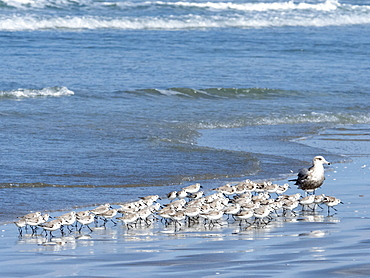 A flock of sanderlings (Calidris alba), on the beach at Isla Magdalena, Baja California Sur, Mexico, North America