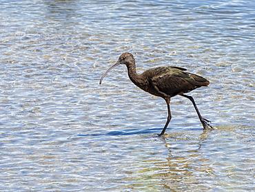 Adult white-faced ibis (Plegadis chihi), foraging in tidal estuary, San Jose del Cabo, Baja California Sur, Mexico, North America