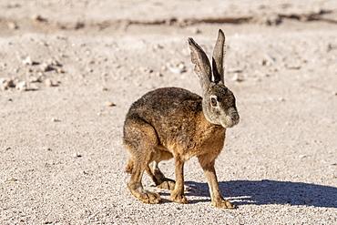 Black jackrabbit (Lepus insularis), endemic only to Isla del Espiritu Santo, Baja California Sur, Mexico, North America