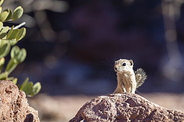 Espiritu Santo antelope squirrel (Ammospermophilus insularis), endemic only to Isla del Espiritu Santo, Baja California Sur, Mexico, North America
