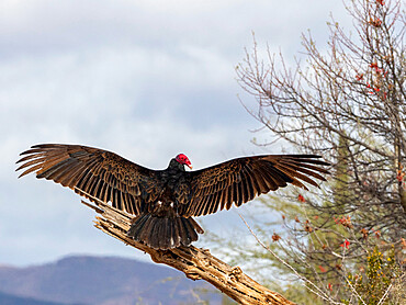 Adult turkey vulture, Cathartes aura, drying its wings, Sierra San Francisco, Baja California Sur, Mexico.