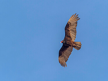 Adult turkey vulture, Cathartes aura, in flight at Los Islotes, Baja California Sur, Mexico, North America.