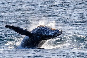 Adult humpback whale, Megaptera novaeangliae, breaching, San Jose del Cabo, Baja California Sur, Mexico.