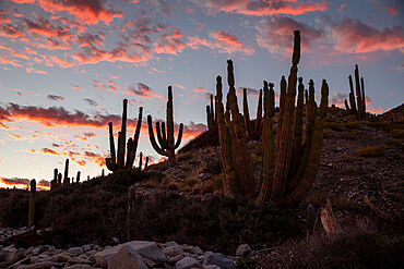 Mexican giant cardon cactus, Pachycereus pringlei, at sunset on Isla Santa Catalina, Baja California, Mexico.