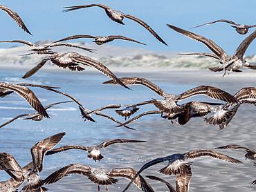 Juvenile western gulls, Larus occidentalis,feeding on tuna crabs, Isla Magdalena, Baja California Sur, Mexico.