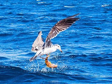 Juvenile yellow-footed gull, Larus livens, eating a goatfish, Isla San Ildefonso, Baja California, Mexico.