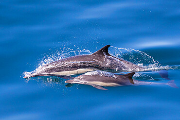 Long-beaked common dolphin, Delphinus capensis, mother and calf, Los Islotes, Baja California Sur, Mexico.