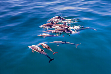 Long-beaked common dolphin pod, Delphinus capensis, surfacing, Los Islotes, Baja California Sur, Mexico.