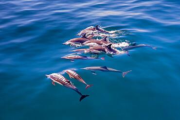 Long-beaked common dolphin pod, Delphinus capensis, surfacing, Los Islotes, Baja California Sur, Mexico.