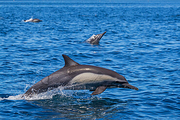 Adult long-beaked common dolphin, Delphinus capensis, leaping in Loreto Bay National Park, BCS, Mexico.