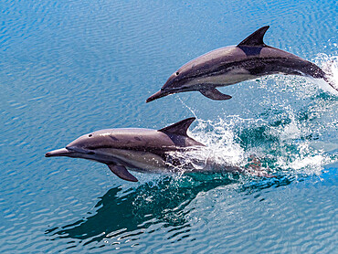 Long-beaked common dolphins, Delphinus capensis, leaping, Isla San Pedro Esteban, Baja California, Mexico.