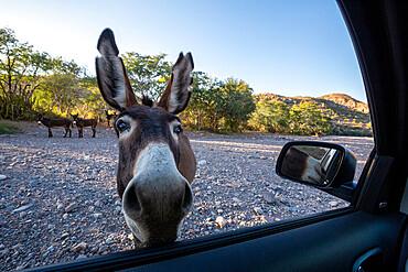 Curious burro inspects my car at Mesquite Canyon, Sierra de la Giganta, Baja California Sur, Mexico.