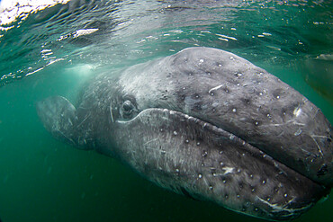 California gray whale calf, Eschrichtius robustus, underwater, San Ignacio Lagoon, Baja California Sur, Mexico.