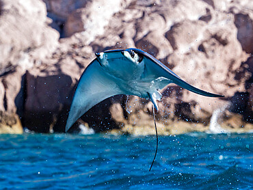 Adult Munk's pygmy devil ray, Mobula munkiana, leaping in to the air, Ensenada Grande, Isla Partida, BCS, Mexico.
