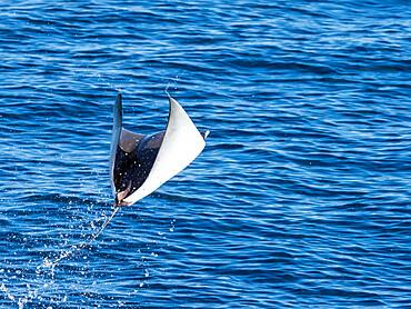 Adult Munk's pygmy devil ray, Mobula munkiana, leaping in to the air, Isla San Jose, Baja California Sur, Mexico.