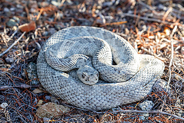 Ashy morph of the Santa Catalina rattlesnake, Crotalus catalinensis, endemic to Isla Santa Catalina, BCS, Mexico.