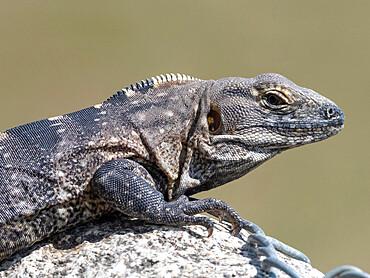 Adult male Cape spiny-tailed iguana, Ctenosaura hemilopha, San Jose del Cabo, Baja California Sur, Mexico.