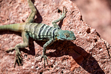 Adult San Lucan banded rock lizard, Petrosaurus thalassinus, Bahia Dispensa, Isla Espíritu Santo, BCS, Mexico.