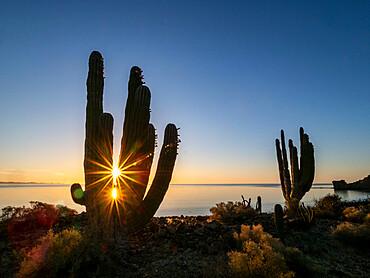 Sunrise on Mexican giant cardon, Pachycereus pringlei, Isla San Esteban, Baja California, Mexico.