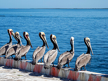 Brown pelicans, Pelecanus occidentalis, at a sardine processing plant, Puerto San Carlos, BCS, Mexico.