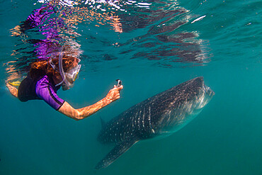 Young whale shark, Rhincodon typus, filter feeding near snorkeler at El Mogote, Baja California Sur, Mexico.