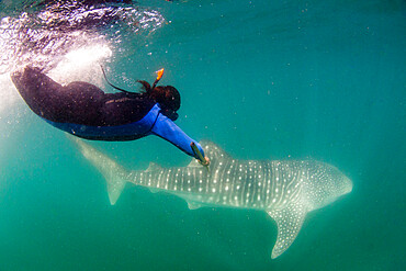 Young whale shark, Rhincodon typus, being biopsied by researcher at El Mogote, Baja California Sur, Mexico.