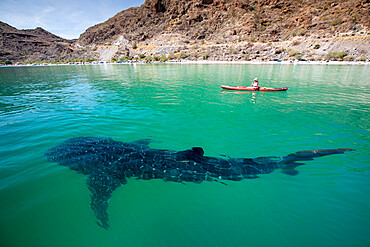 A young whale shark, Rhincodon typus, near kayaker in Bahia Coyote, Conception Bay, Baja California Sur, Mexico.