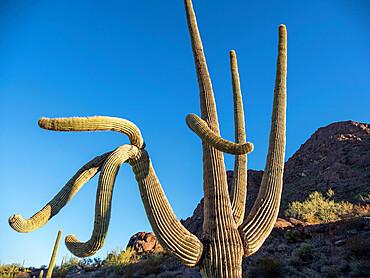 Saguaro cactus, Carnegiea gigantea, Organ Pipe Cactus National Monument, Sonoran Desert, Arizona, USA.