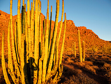 Organ pipe cactus, Stenocereus thurberi, Organ Pipe Cactus National Monument, Sonoran Desert, AZ, USA.