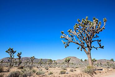 Joshua tree, Yucca brevifolia, Joshua Tree National Park, Mojave Desert, California, USA, North America.