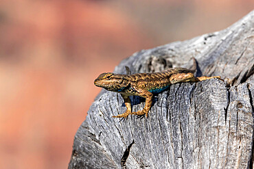 Adult male plateau fence lizard, Sceloporus tristichus, north rim of Grand Canyon National Park, Arizona, USA.