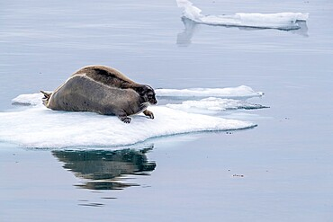 Adult bearded seal, Erignathus barbatus, on ice in Makinson Inlet, Ellesmere Island, Nunavut, Canada.