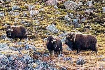 Musk ox (Ovibos moschatus), shedding summer fur, Fram Fjord, Ellesmere Island, Nunavut, Canada, North America