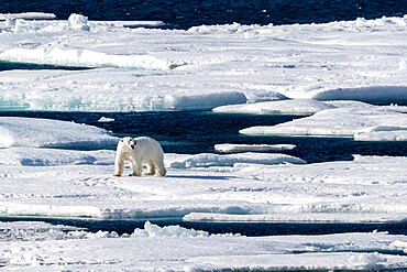 Adult polar bear (Ursus maritimus), walking on open ice, Queen's Channel, Cornwallis Island, Nunavut, Canada, North America