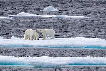 A pair of probable sibling polar bears (Ursus maritimus), Queen's Channel, Cornwallis Island, Nunavut, Canada, North America