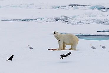 Polar bear, Ursus maritimus, on a seal kill, Ellesmere Island, Nunavut, Canada