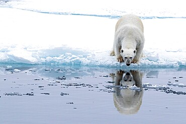 Adult polar bear, Ursus maritimus, reflected in the sea on ice near Ellesmere Island, Nunavut, Canada.