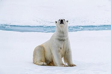 Adult polar bear, Ursus maritimus, cleaning its fur from a recent kill on ice near Ellesmere Island, Nunavut, Canada.