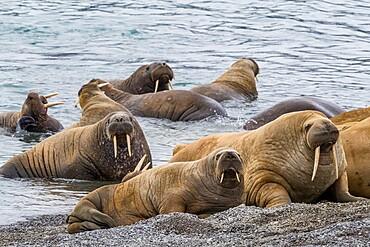 Adult Atlantic walrus (Odobenus rosmarus), on the beach in Musk Ox Fjord, Ellesmere Island, Nunavut, Canada, North America