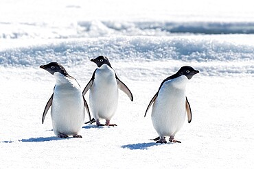 A group of Adelie penguins (Pygoscelis adeliae) on sea ice in Duse Bay, Weddell Sea, Antarctica, Polar Regions