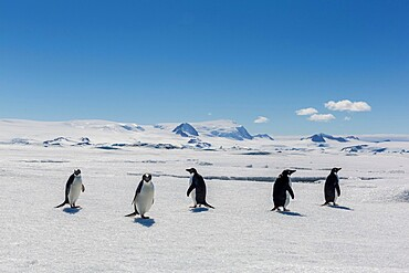 A group of Adélie penguins, Pygoscelis adeliae, hauled out on sea ice in Duse Bay, Weddell Sea, Antarctica.