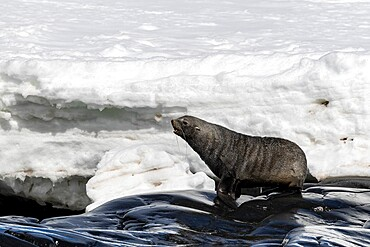 Male Antarctic fur seal, Arctocephalus gazella, hauled out on Astrolabe Island, Bransfield Strait, Antarctica.