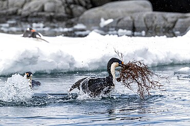 Antarctic shags, Leucocarbo bransfieldensis, taking flight with nesting material at Port Lockroy, Antarctica.