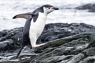 Chinstrap penguin, Pygoscelis antarcticus, leaping from the sea at breeding colony on Barrientos Island, Antarctica.