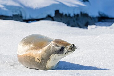 An adult crabeater seal, Lobodon carcinophaga, hauled out on sea ice in the Useful Islands, Gerlache Strait, Antarctica.