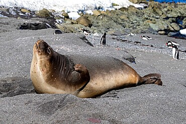 Young southern elephant seal (Mirounga leonina), hauled out on the beach, Barrientos Island, Antarctica, Polar Regions